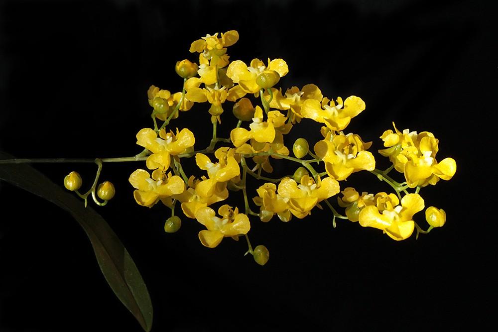 Oncidium cheirophorum inflorescence-1000.jpg