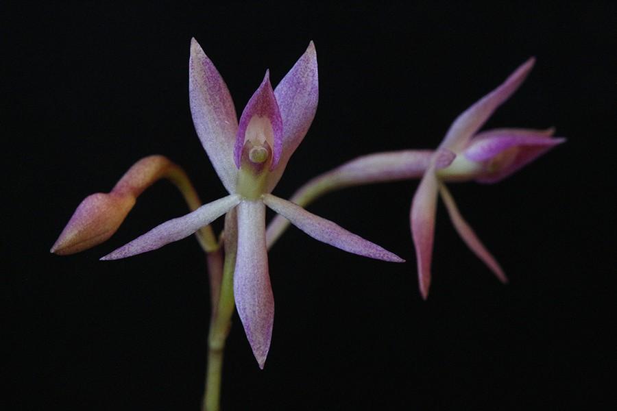 Epidendrum bianthogastrium dark-900.jpg