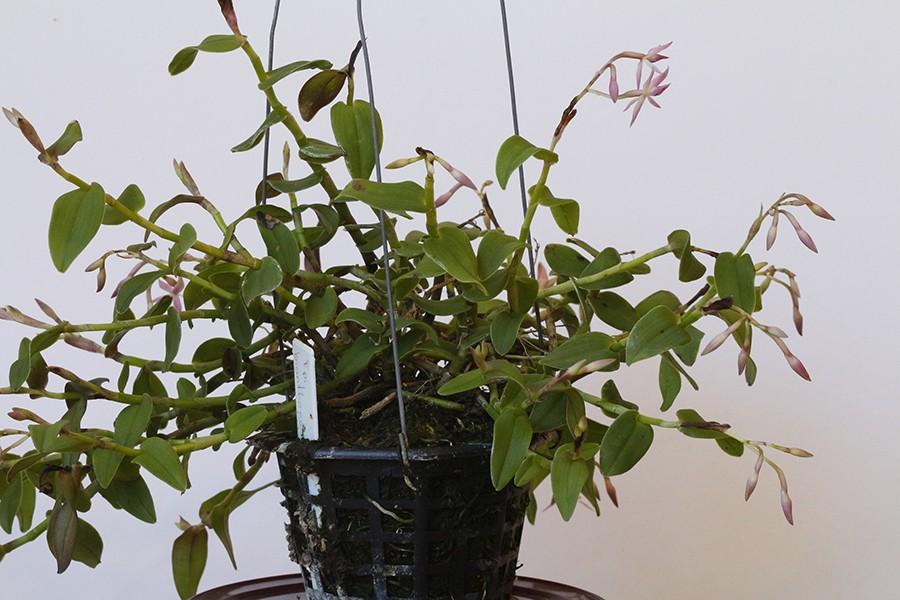 Epidendrum bianthogastrium plant-900.jpg