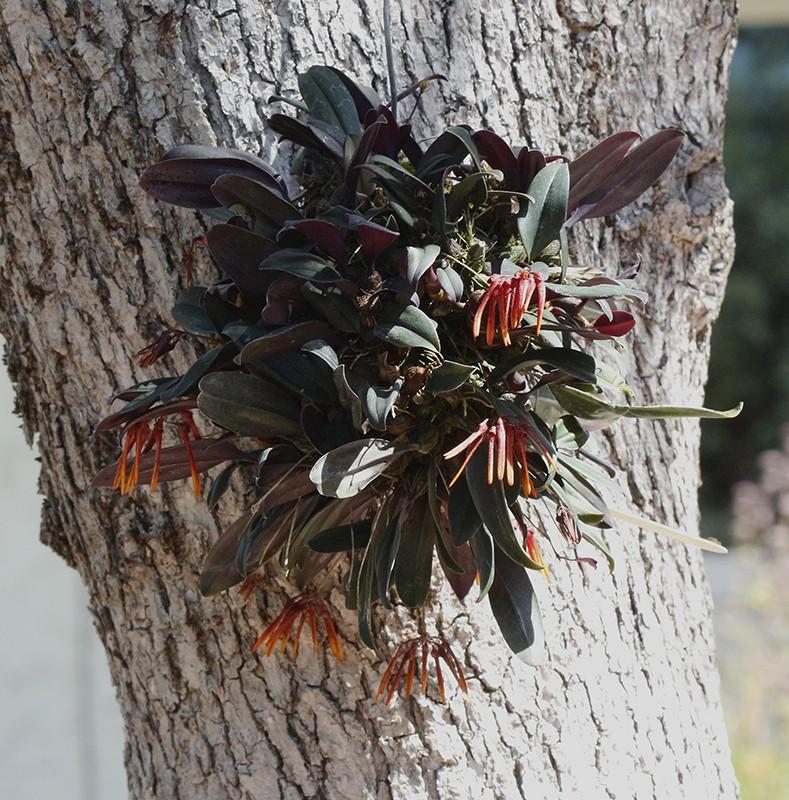 Bulbophyllum thaiorum plant-800.jpg