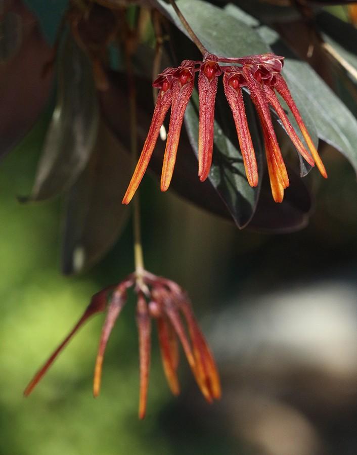 Bulbophyllum thaiorum-900.jpg