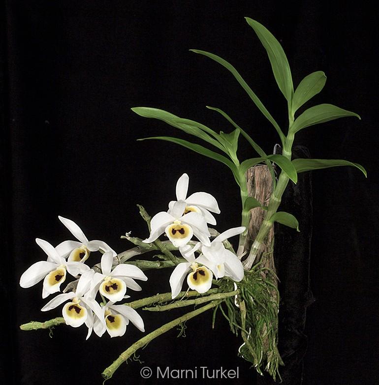 d.bensonii.1529.plant.jpg
