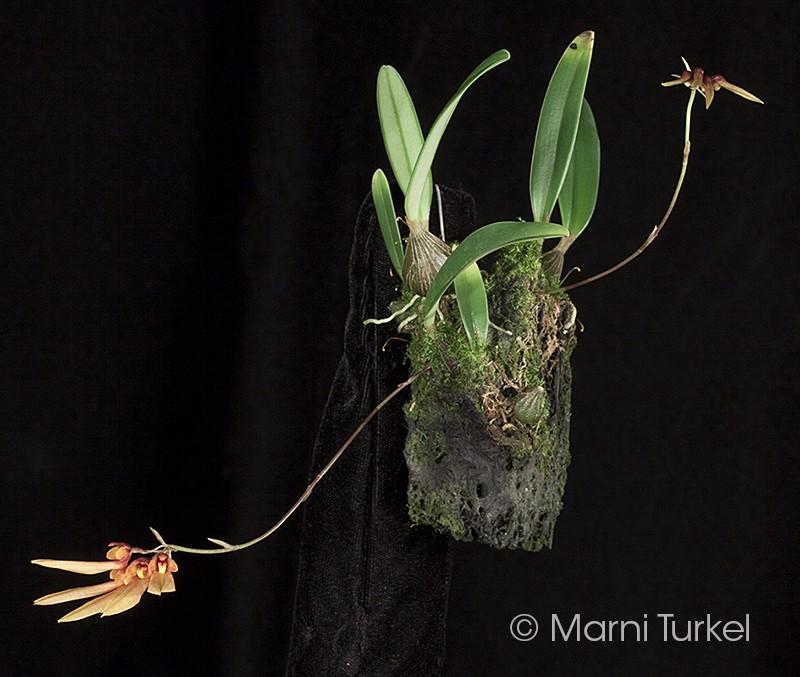 bulbo.india.1430.plant.jpg