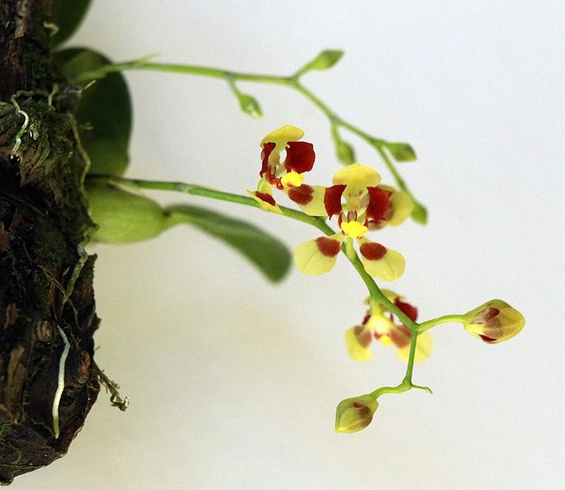 Onc coloratum inflorescence-800.jpg