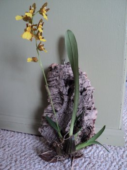 Oncidium Endocharis 3.jpg
