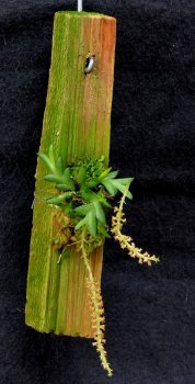 oberonia_japonica.jpg