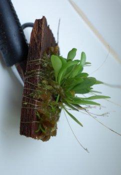 Platystele caudatisepala seedlings.jpg