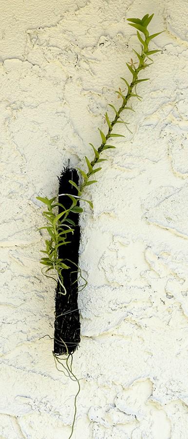 Trichoglottis smithii plant-900.jpg