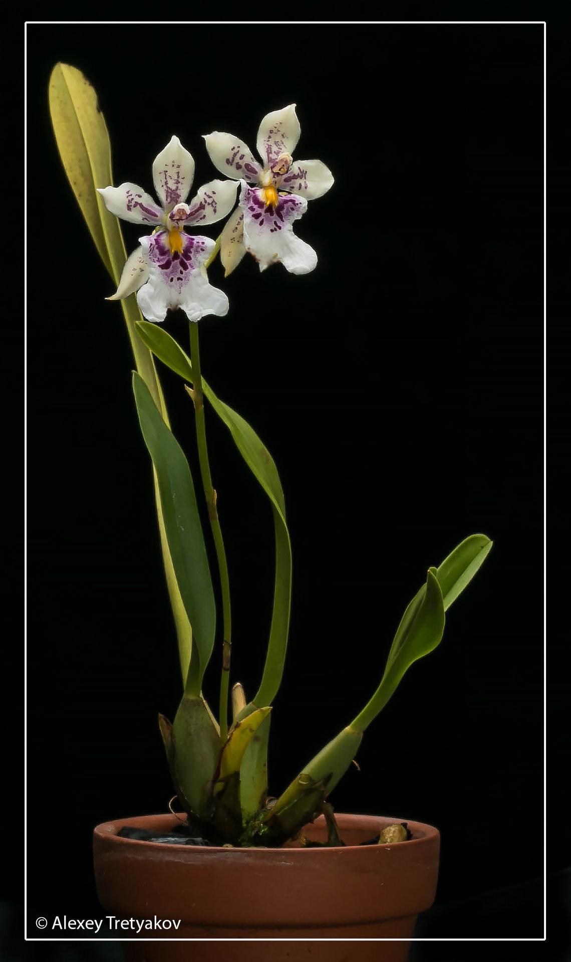Caucaea phalaenopsis 01.jpg