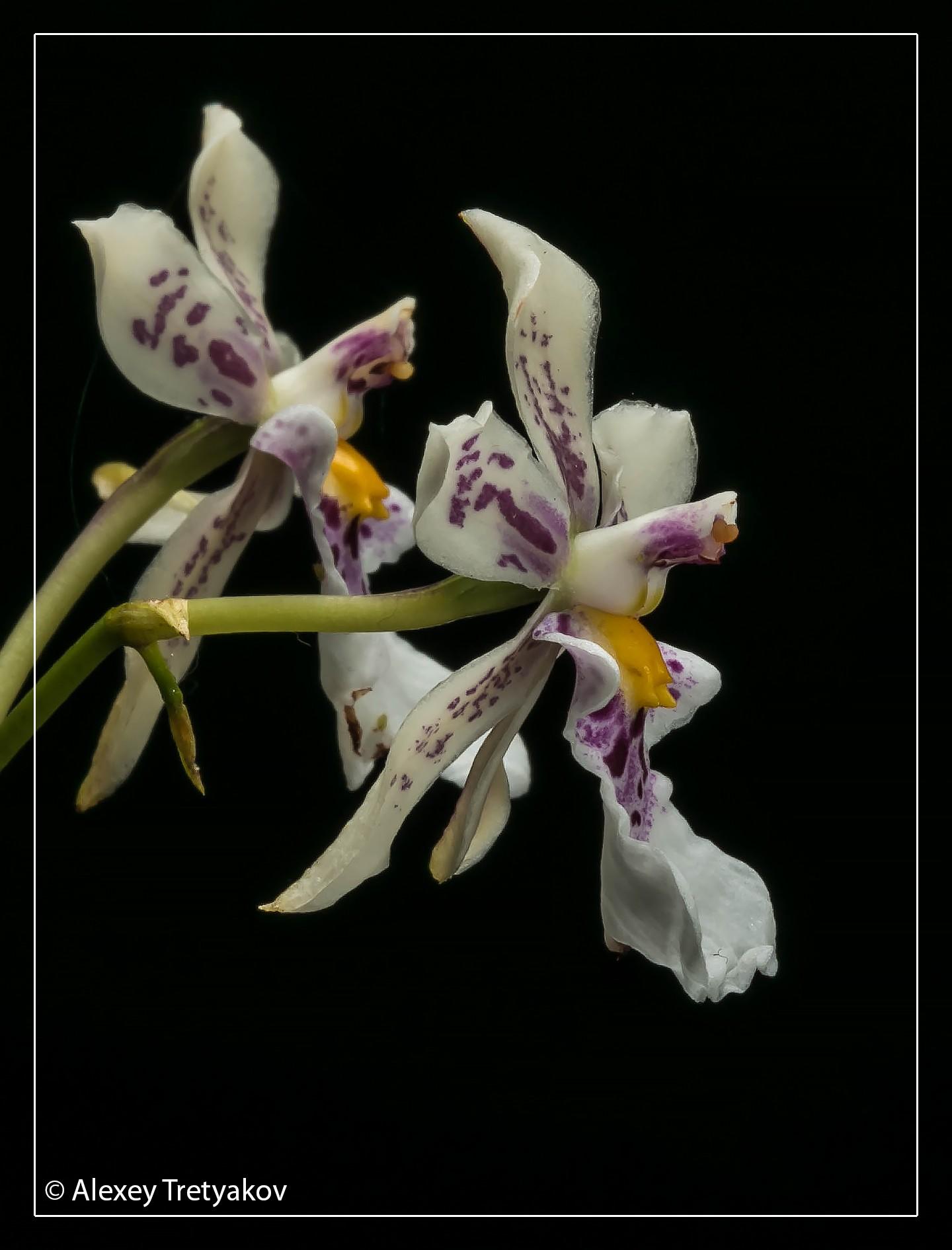 Caucaea phalaenopsis 03.jpg