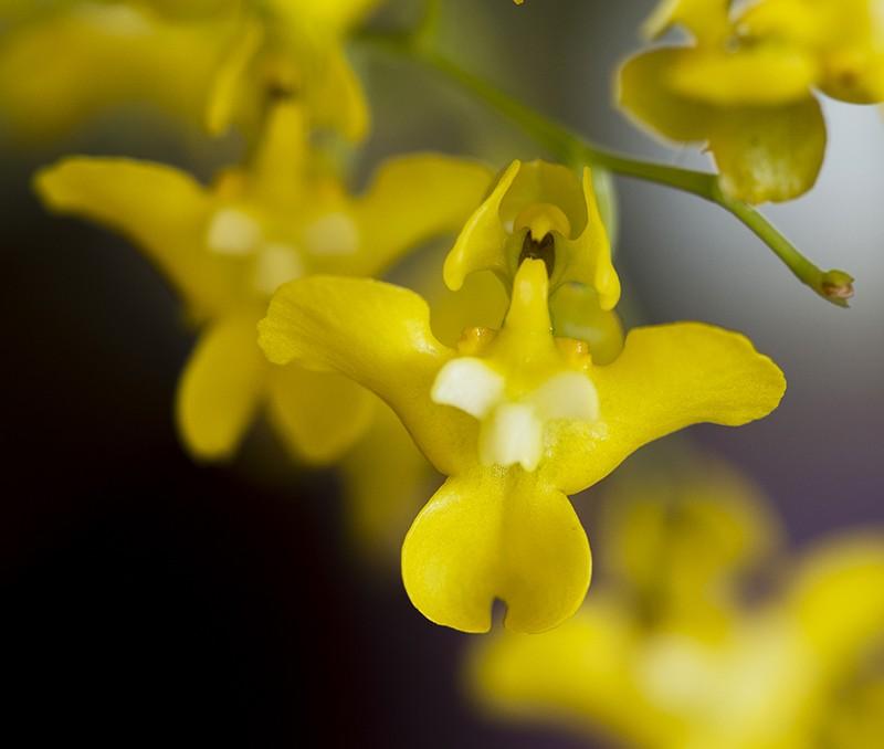 Oncidium cheirophorum close RAW-800.jpg