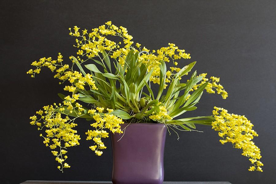 Oncidium cheirophorum plant RAW-900.jpg