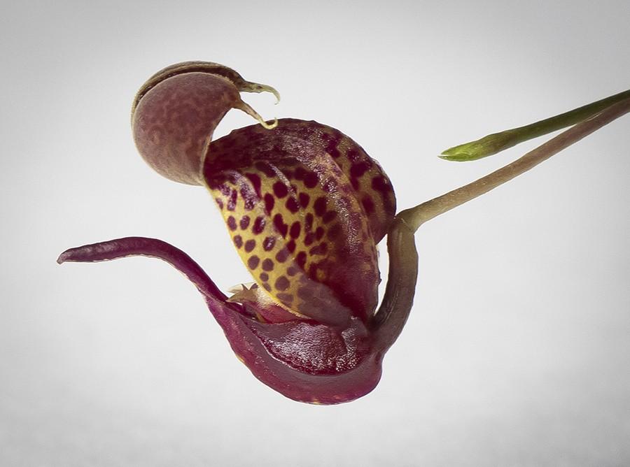 Scaph anchoriferum profile4 RAW-900.jpg