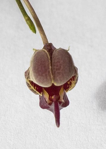 Scaph anchoriferum top RAW-500.jpg