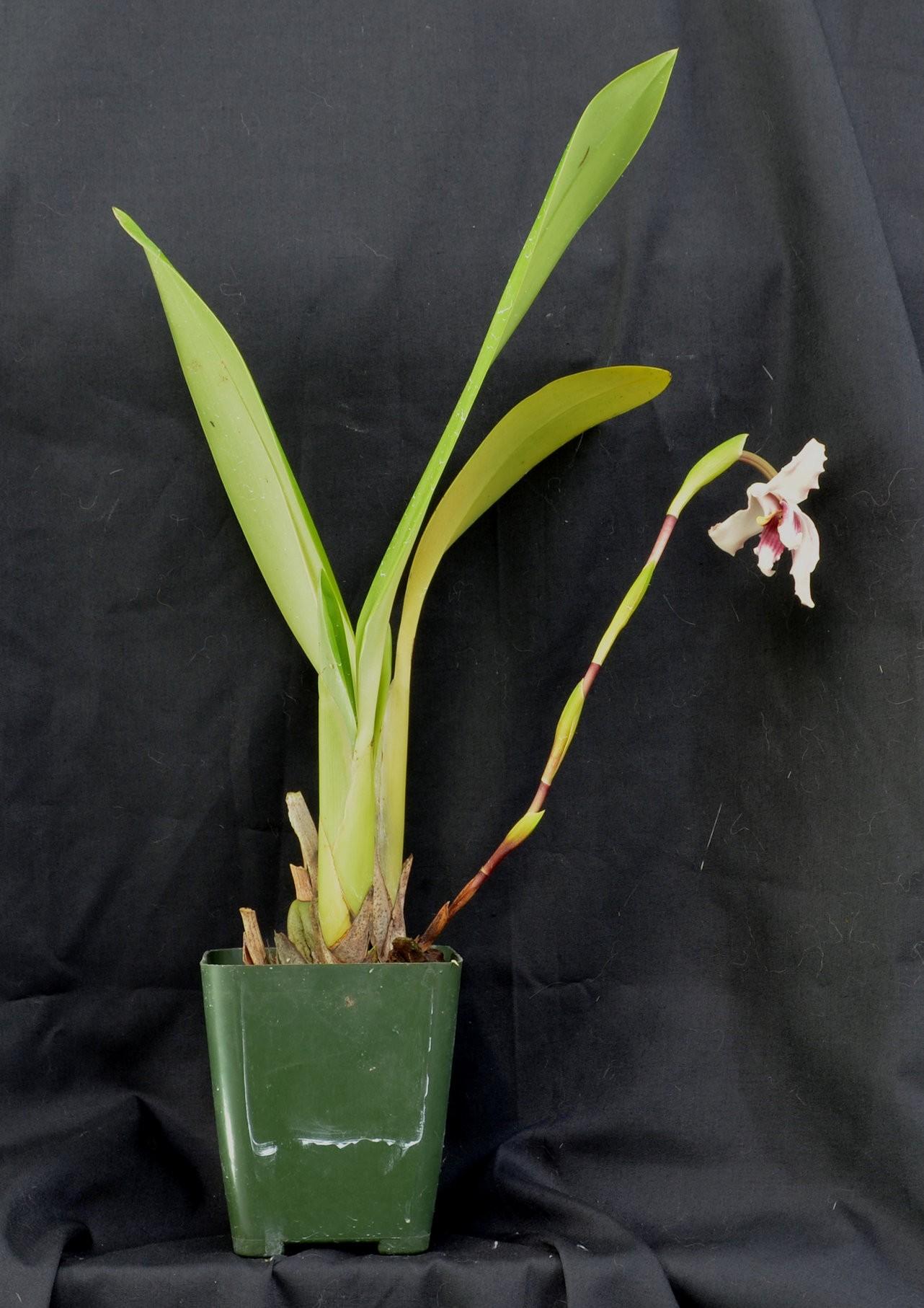 maxillaria_augustae_victoriae2.jpg