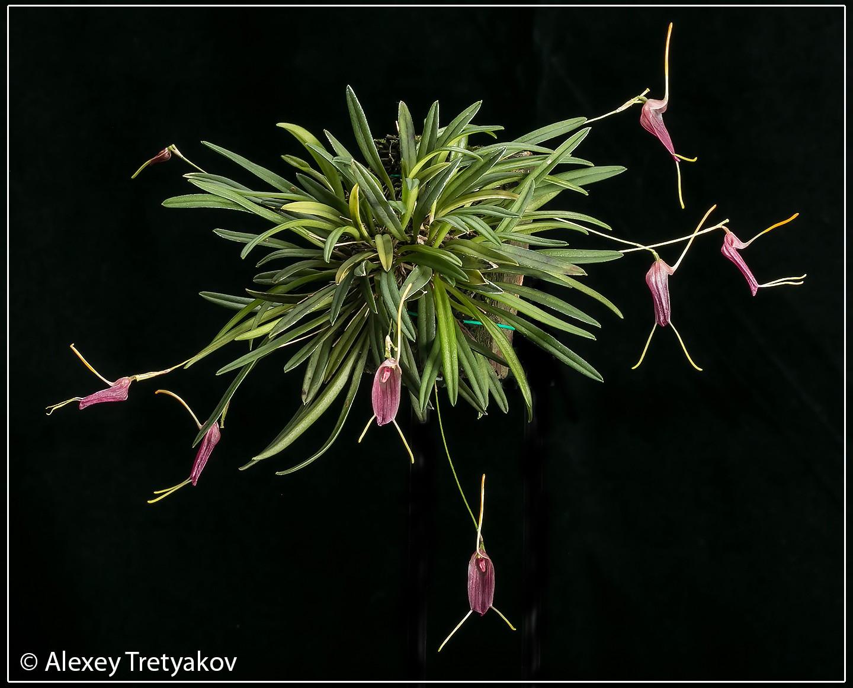 Trisetella triglochin 03.jpg