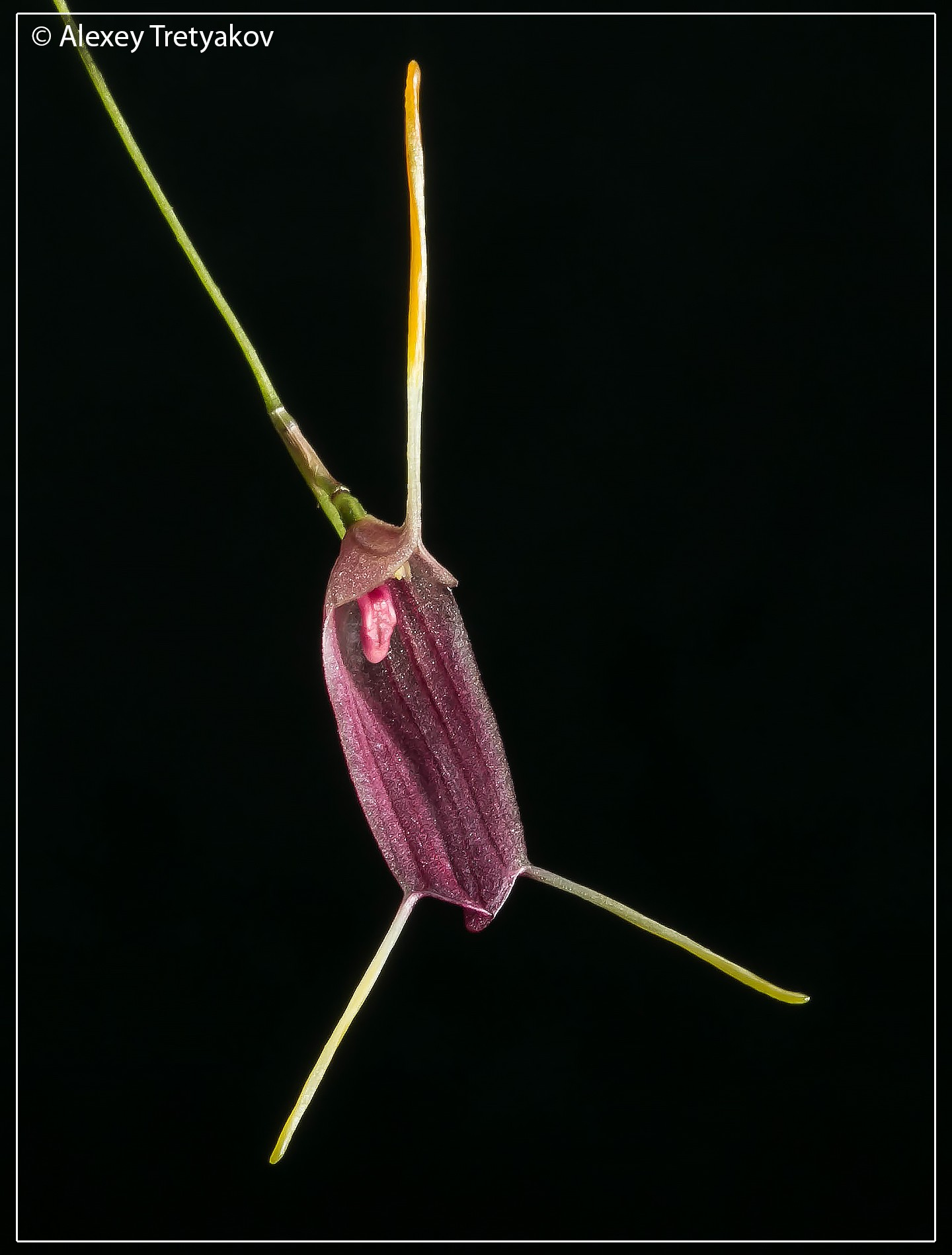 Trisetella triglochin 05.jpg