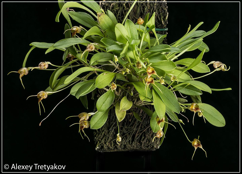 Masd bucculenta 01.jpg