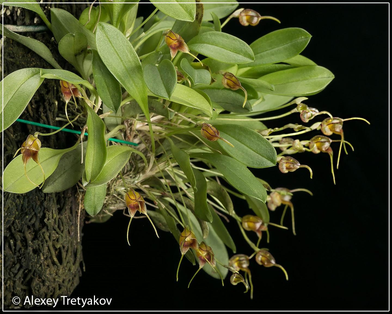 Masd bucculenta 02.jpg