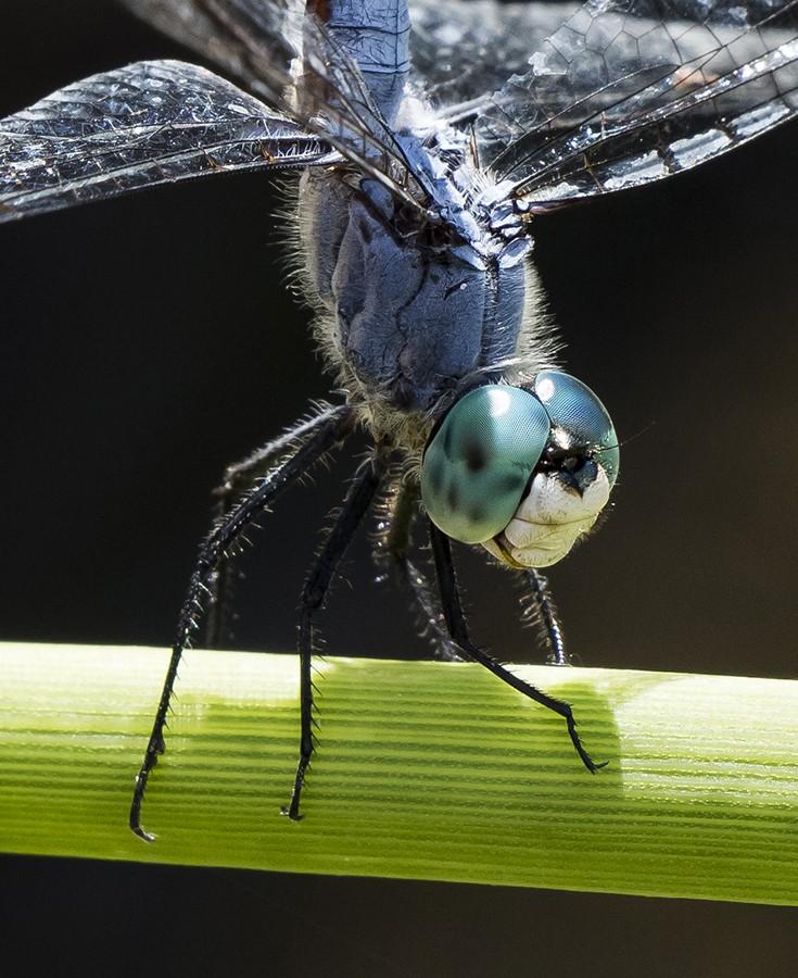 blue dragonfly1-detail-900.jpg
