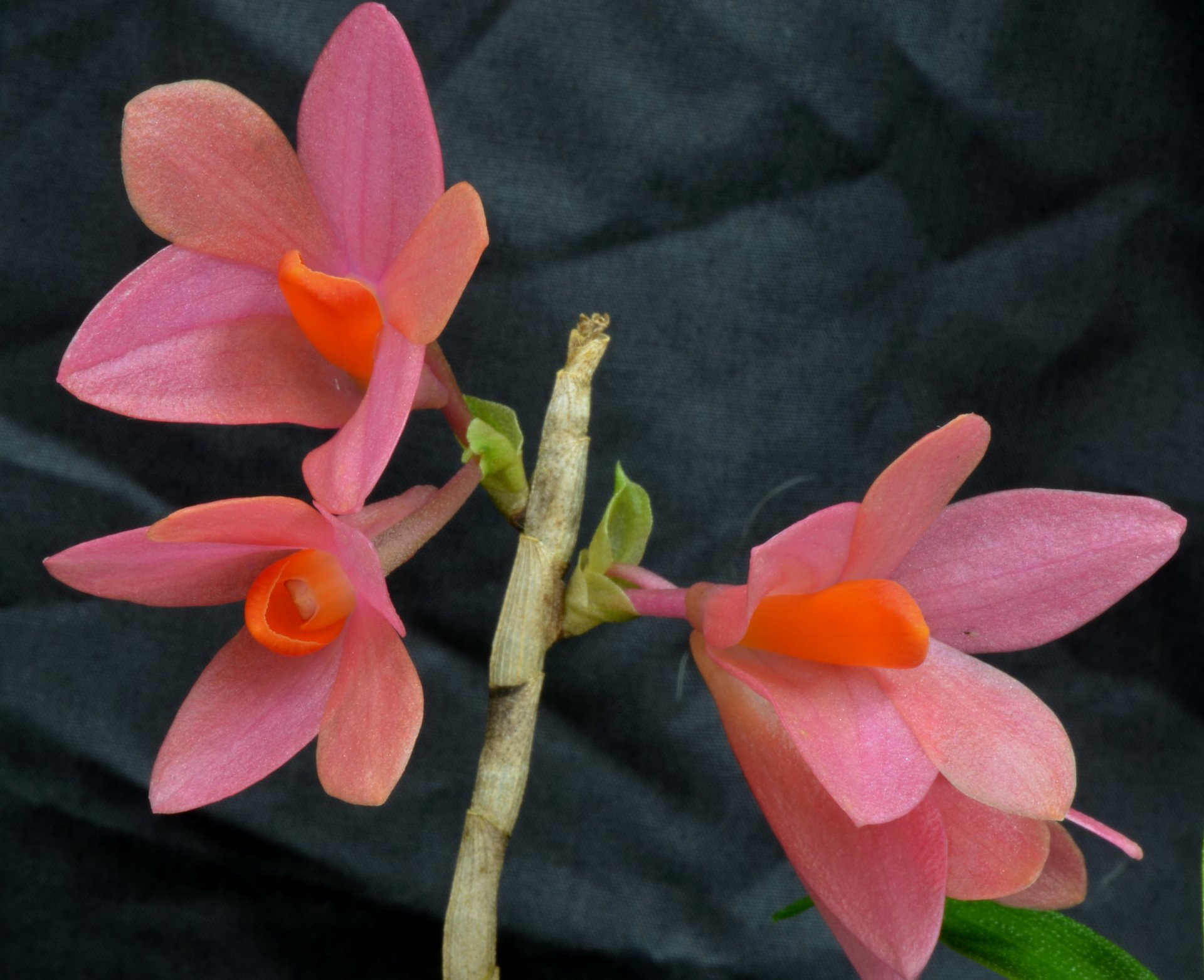 dendrobium_magenta_magic_peach_melba.jpg