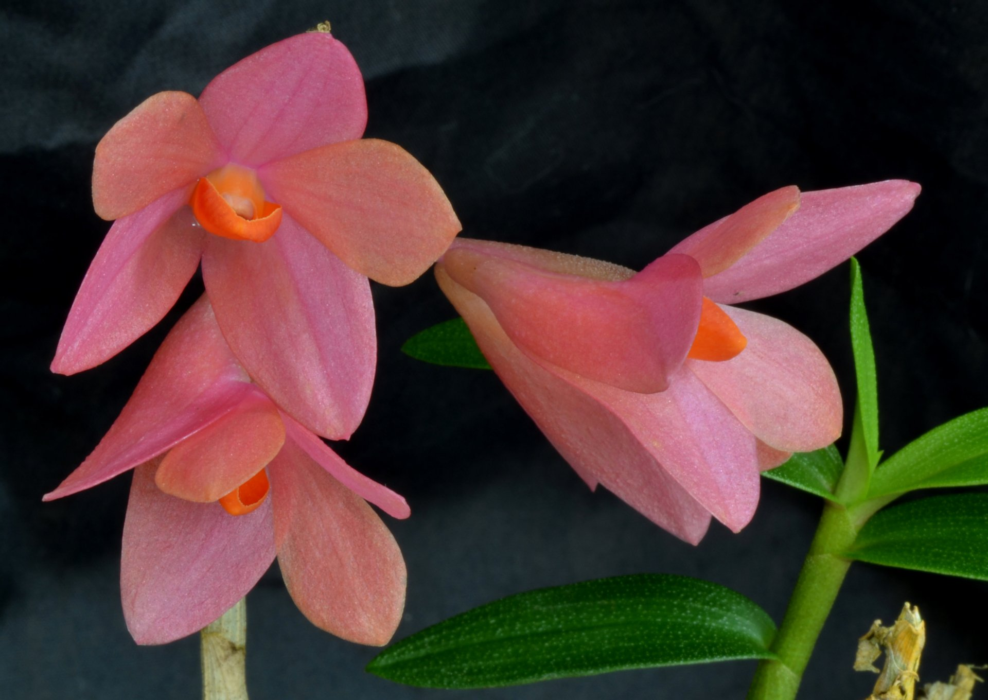 dendrobium_magenta_magic_peach_melba2.jpg