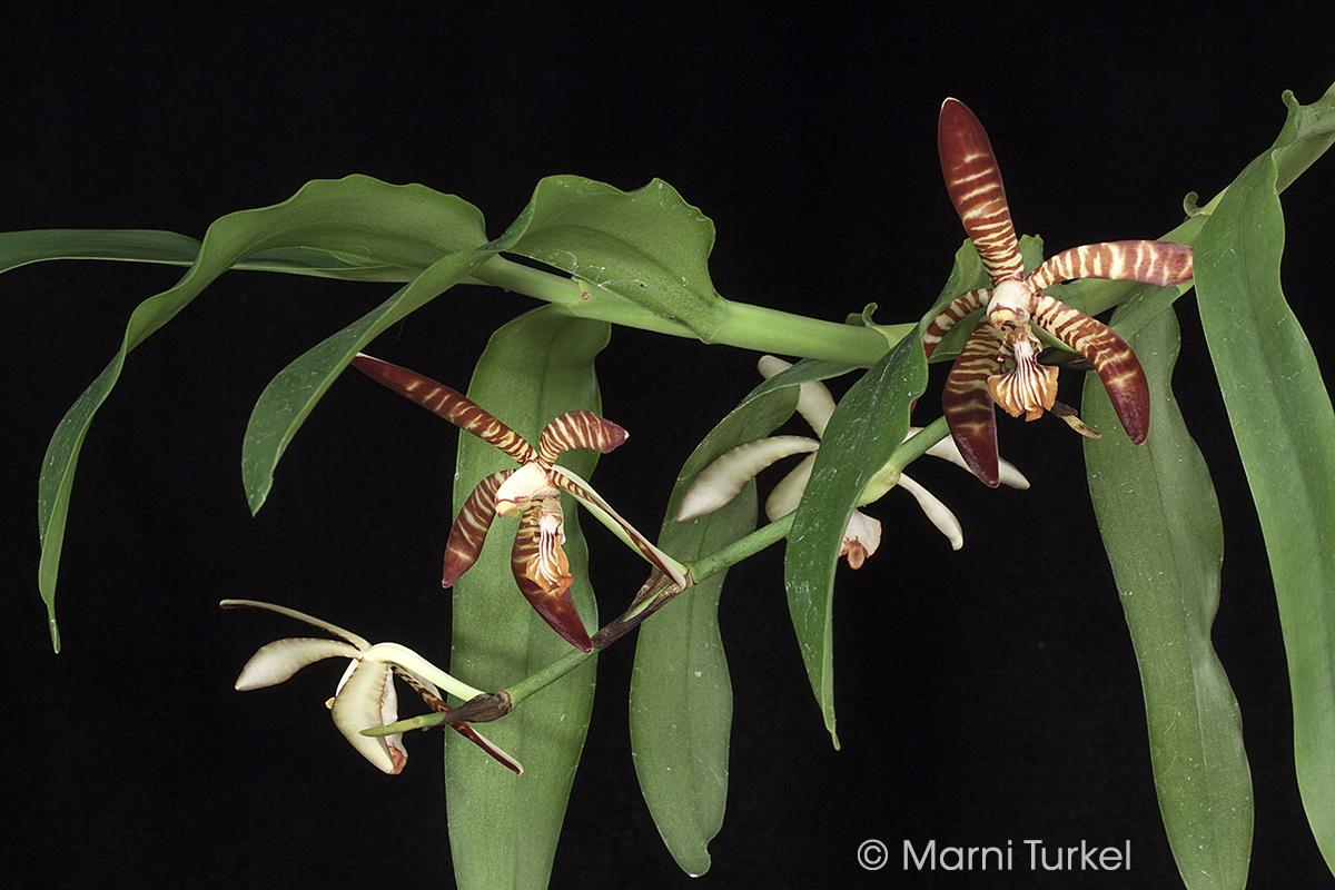 Arachnanthe clarkei.growth.not8870.jpg