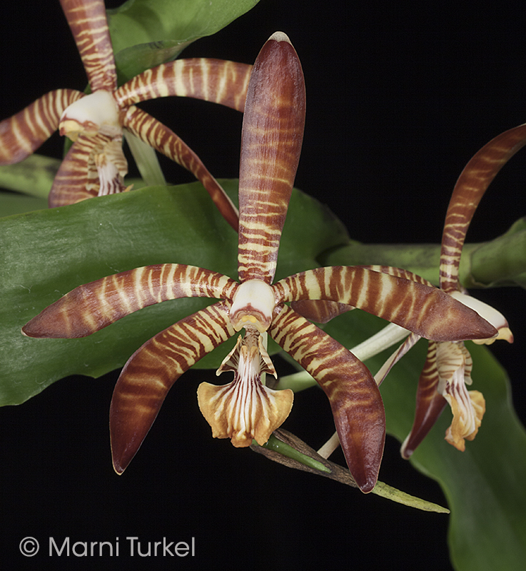 Arachnanthe clarkei.8870.jpg