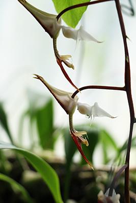 Gongora chacoensis-400.jpg