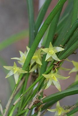 Octomeria gracillimum-400.jpg