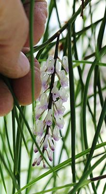 Schoenorchis juncifolia-400.jpg