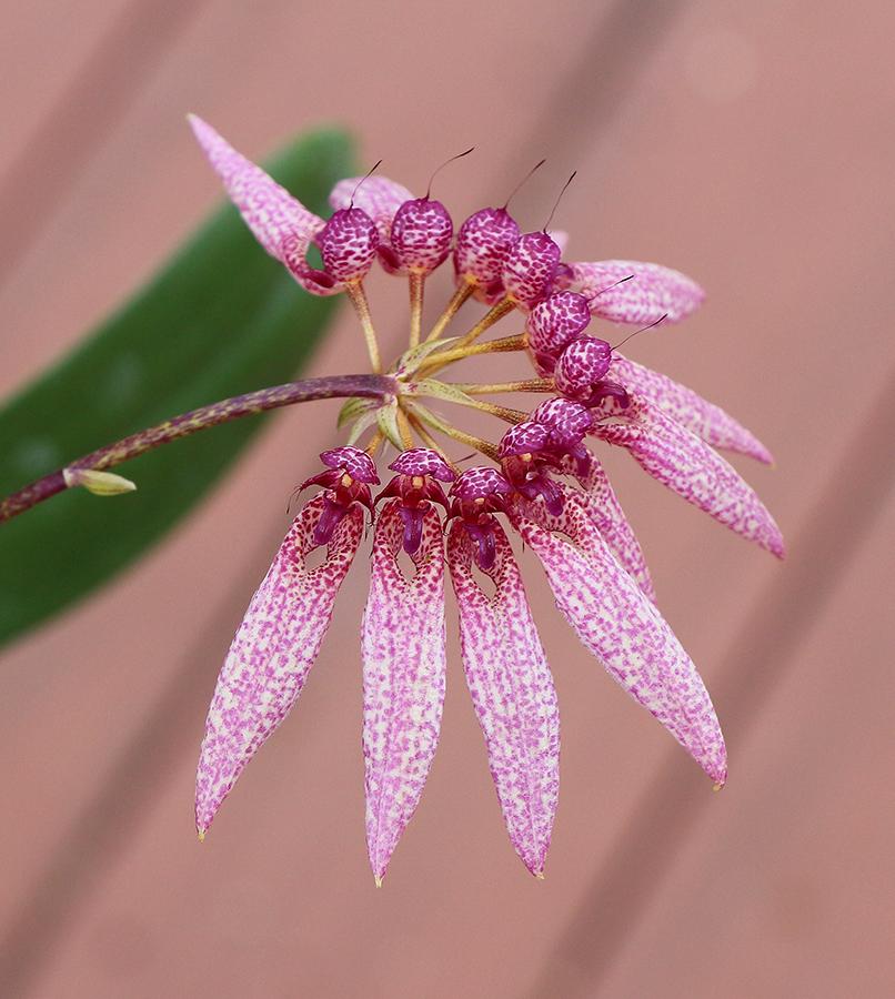 Bulbophyllum amplifolium quarter-900.jpg