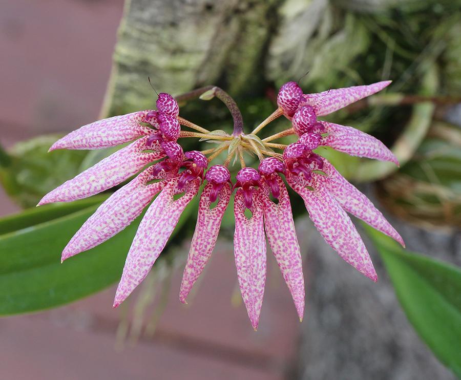 Bulbophyllum amplifolium top-900.jpg
