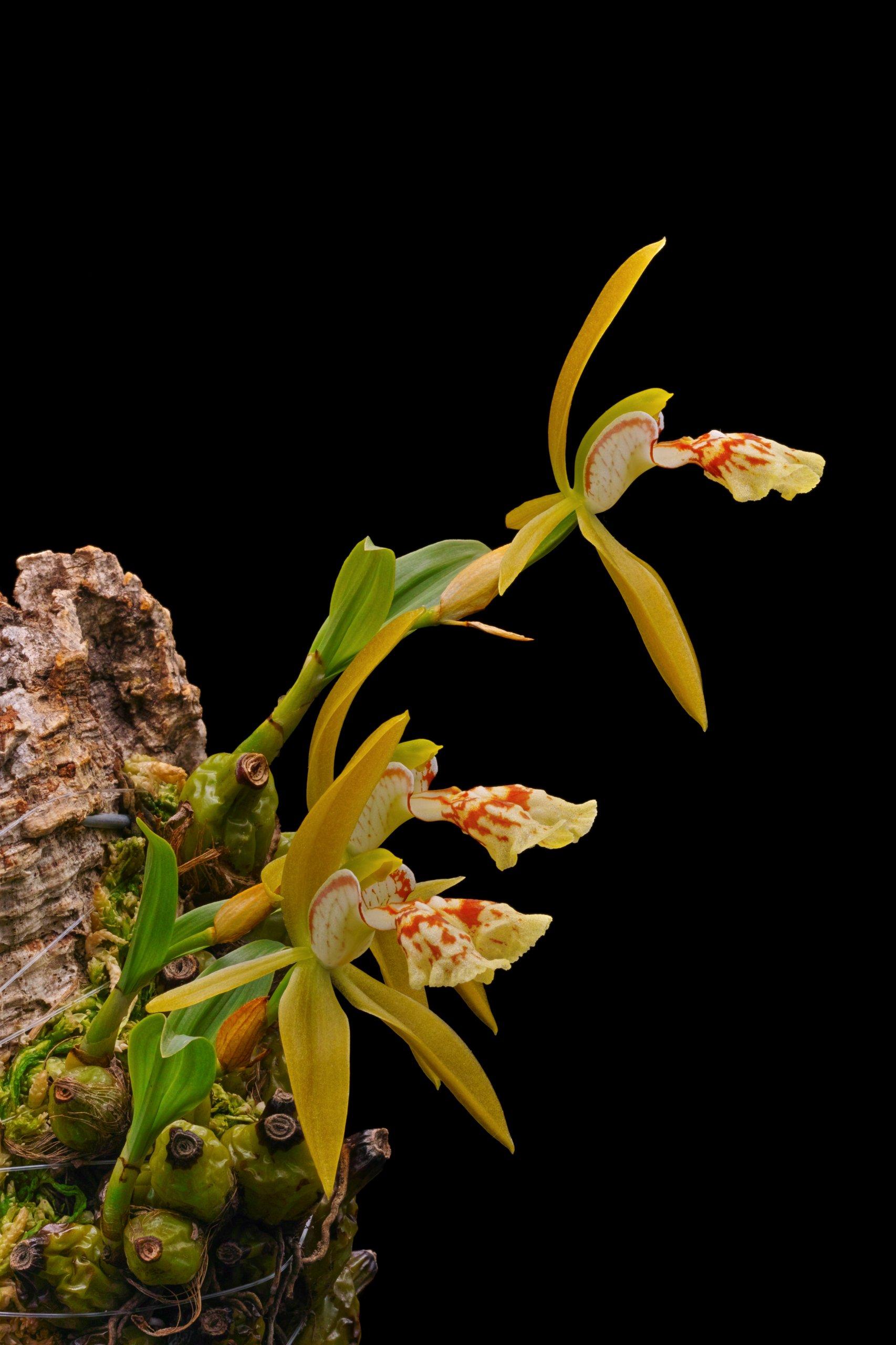 Coelogyne schilleriana flowers.jpg