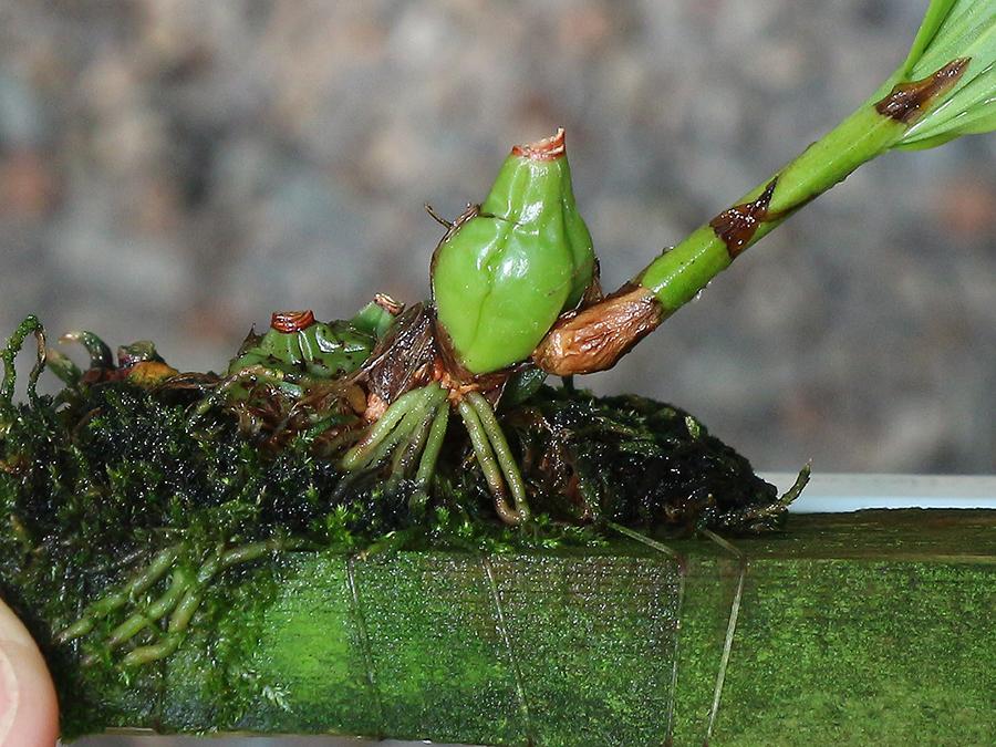 Coel schilleriana roots profile-900.jpg