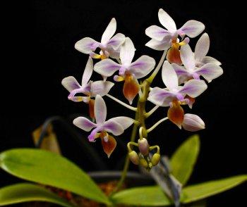 Phalaenopsis equistris.jpg