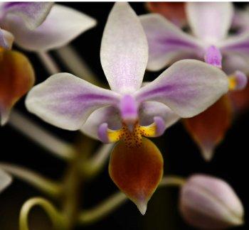 Phalaenopsis equistris2.jpg
