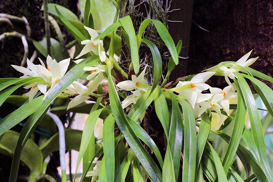Dendrobium pentapterum plant-900.jpg