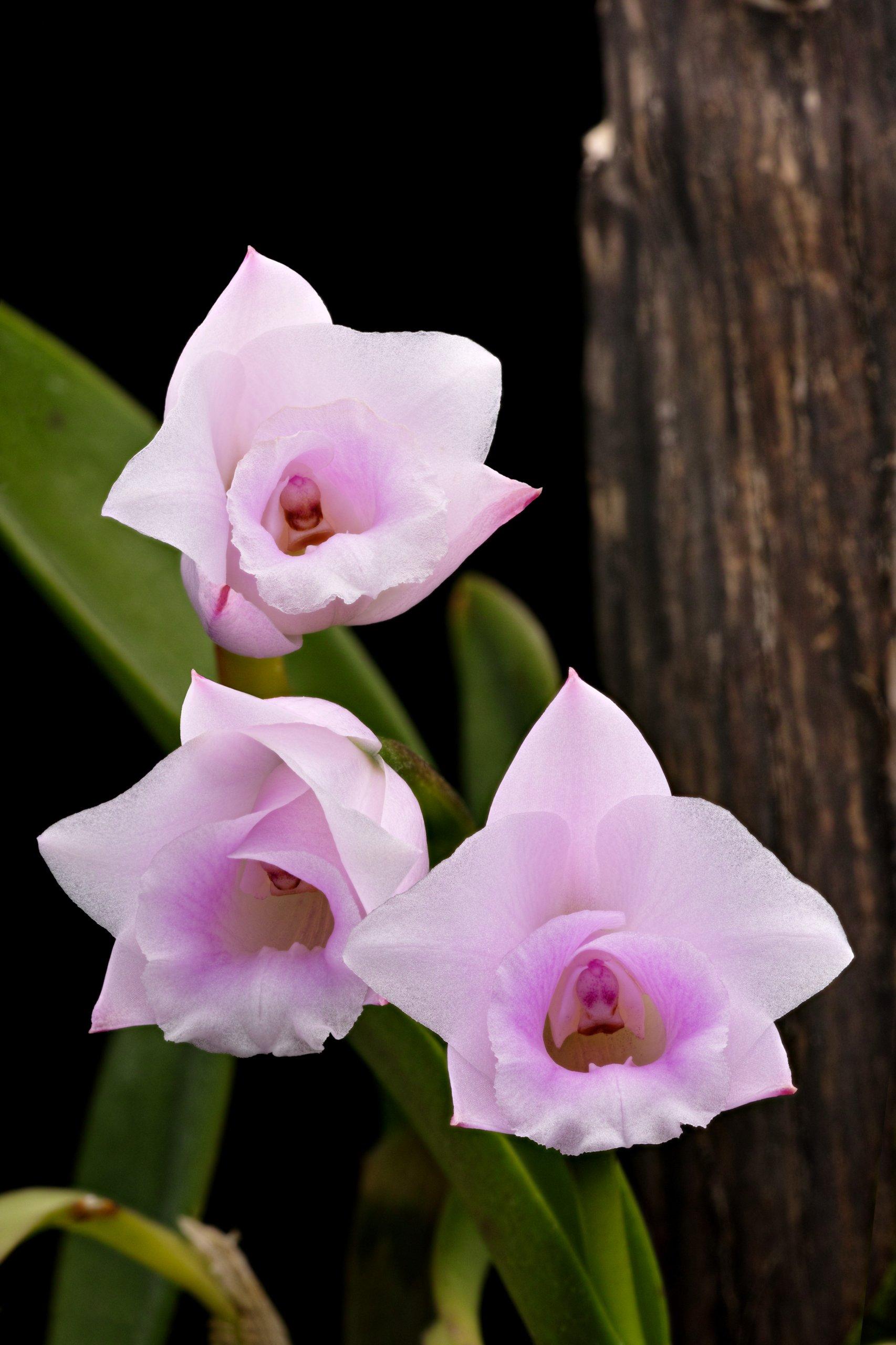 Laelia alaorii flowers.jpg