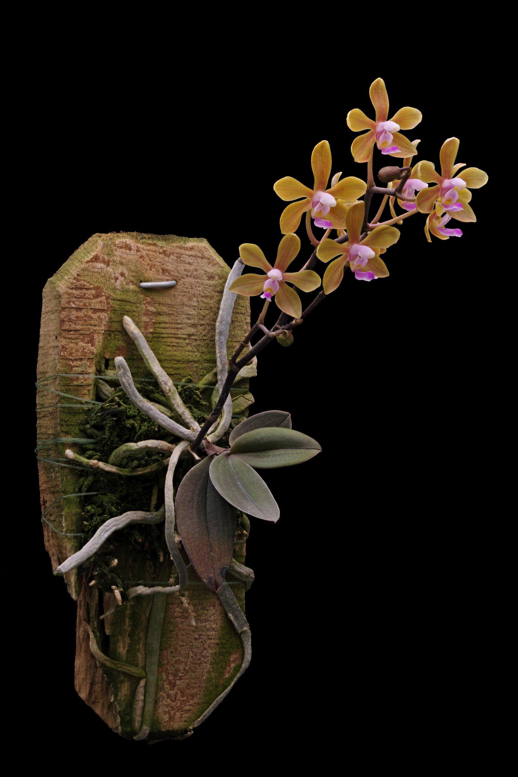 Phalaenopsis hainanensis.jpg