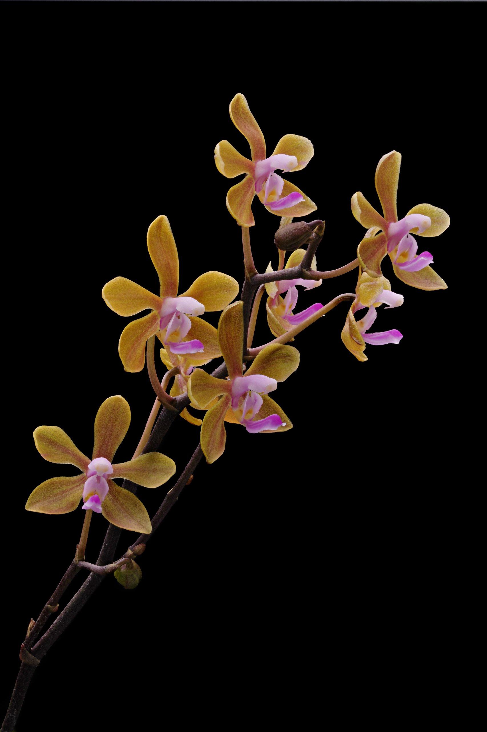Phalaenopsis hainanensis_flowers 01.jpg
