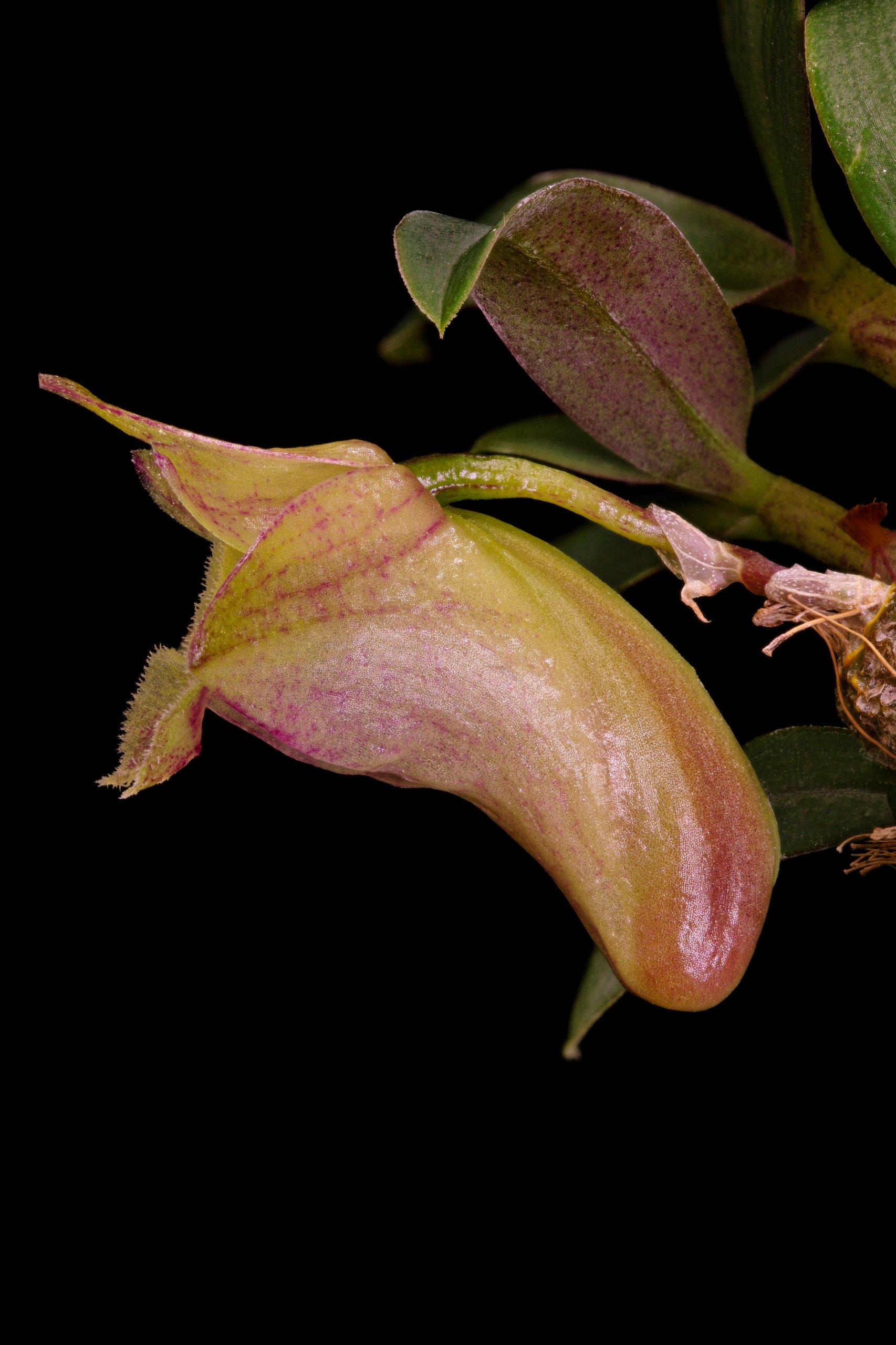 Dendrobium hekouense closeup (side).jpg