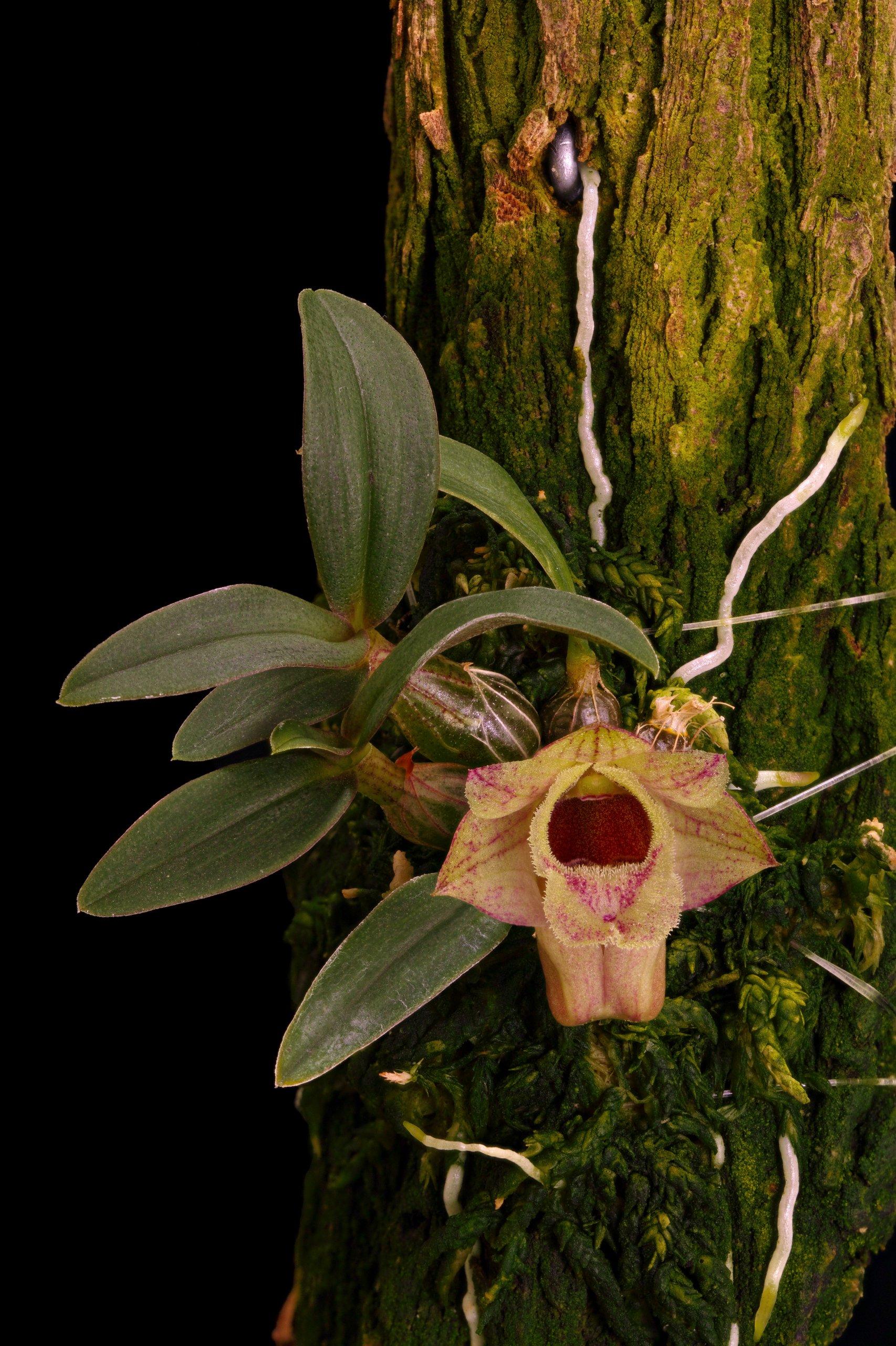 Dendrobium hekouense.jpg