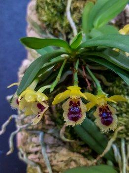 Haraella retrocalla odorata (Gastrochilus retrocallus) - fiore - 2017.jpg