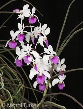 holcoglossum kimballiana.spike.5866.jpg