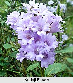Kurinji_Flower.jpg