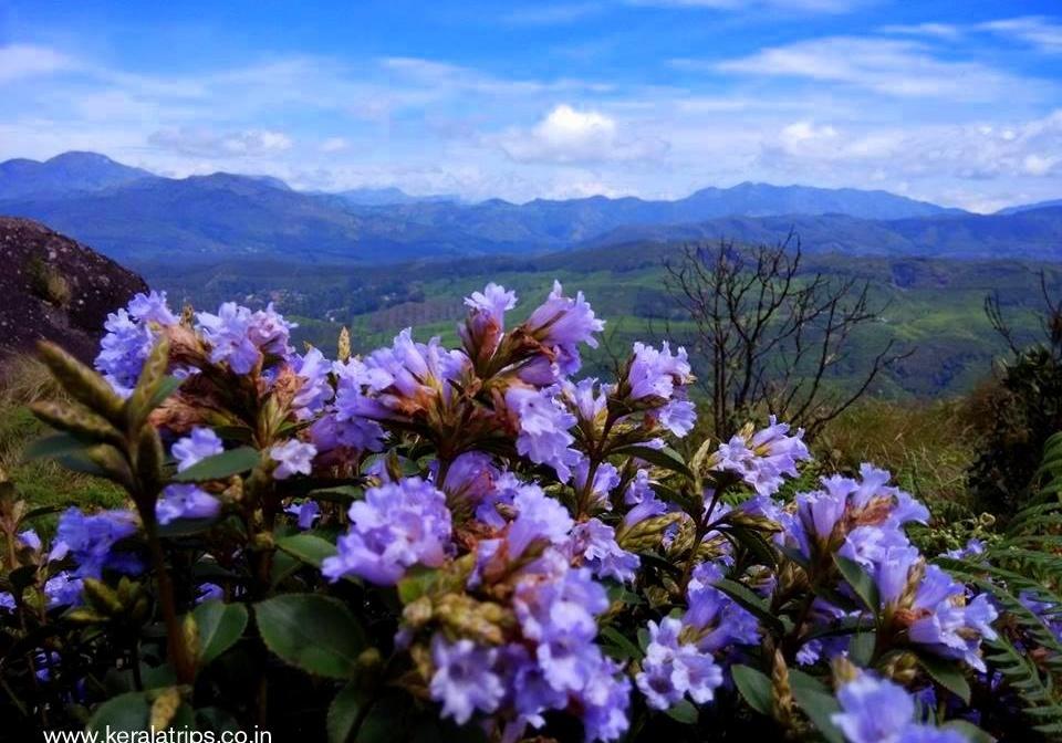 Neelakurinji-flowers-Munnar-kerala-keralatrips.co_.in-Strobilanthes-kunthiana-18-landscape.jpg