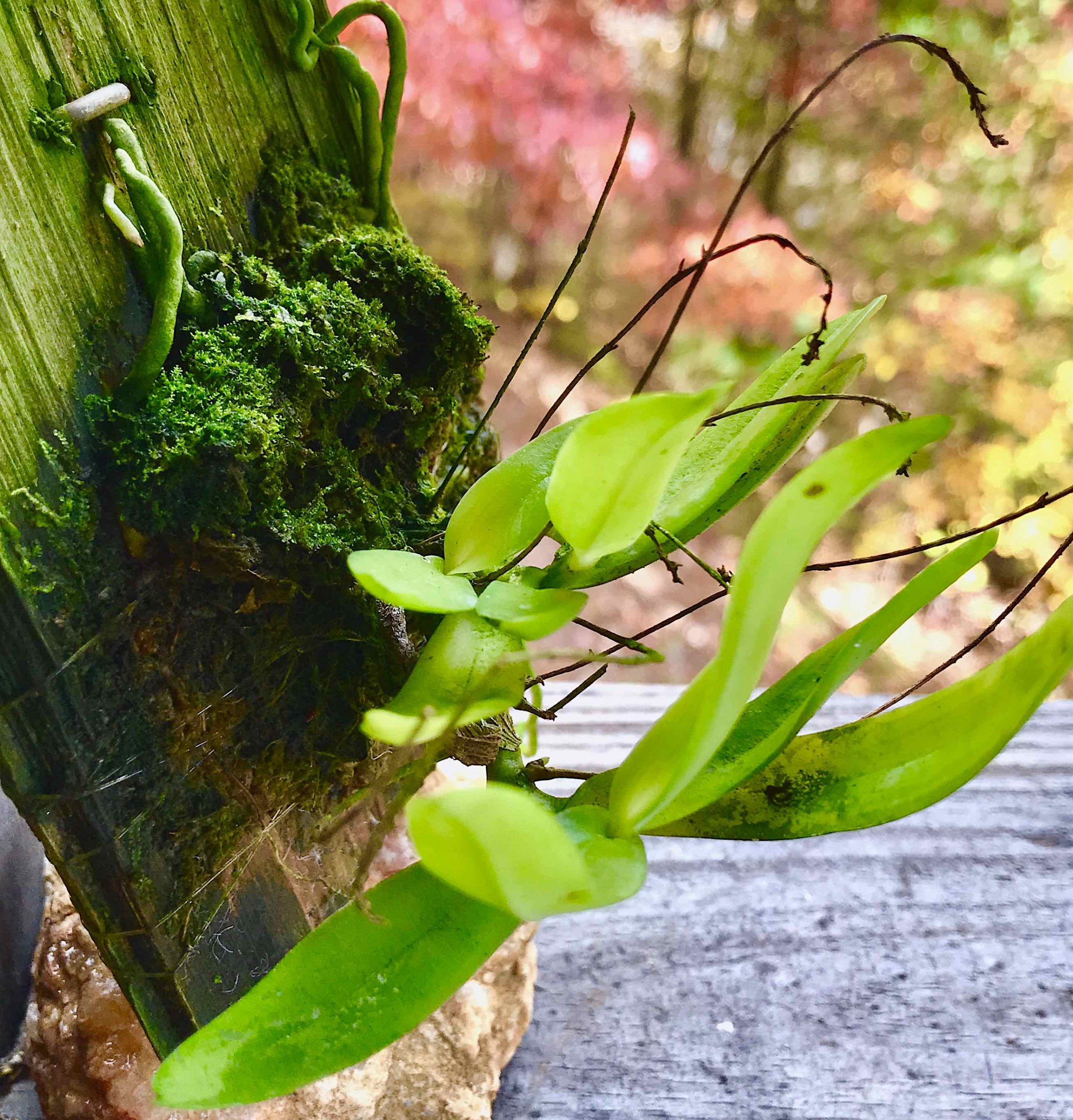 Angraecopsis parviflora sm.jpg