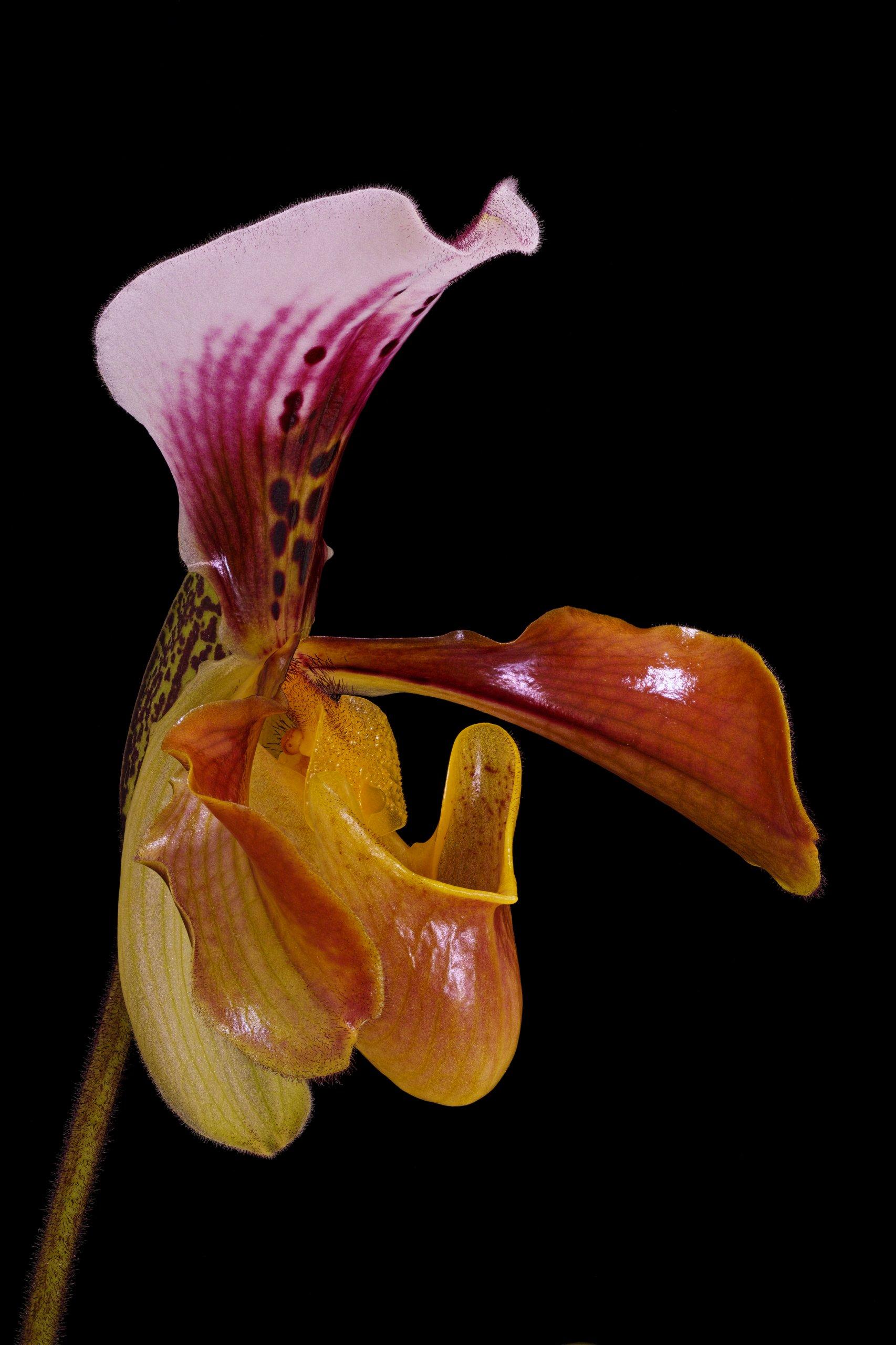 Paphiopedilum gratrixianum ('Wedgewood' AM-AOS x 'Lula Girl') closeup angled.jpg