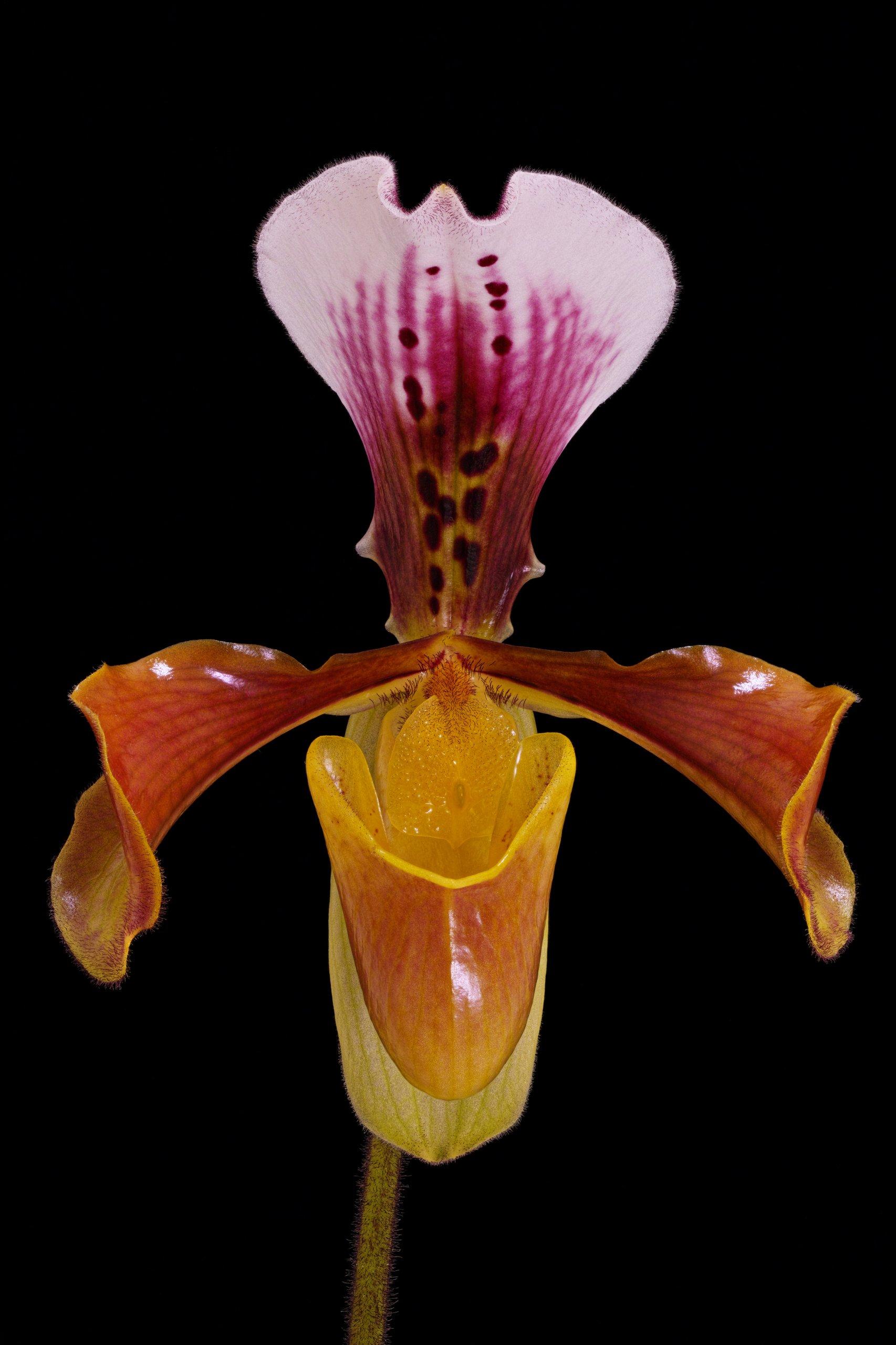 Paphiopedilum gratrixianum ('Wedgewood' AM-AOS x 'Lula Girl') closeup.jpg